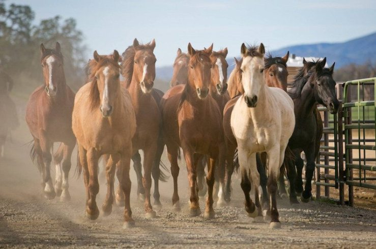 California wild horses. By Wide Open Country.