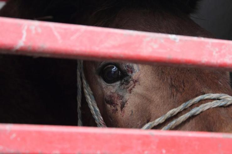 A horse bound for slaughter looks out in desperation from a transport truck. Photographer: Unknown.