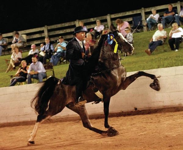 """The """"Big Lick"""" pictured here is accomplished from 'soring' Tennessee Walking horses so they will snatch their feet up in a jerky, awkward gait from intense pain, in competitions all in pursuit of a ribbon. Source: Columbia Daily Herald."""