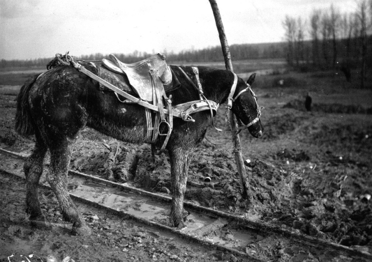 A draft horse shown left hitched to a post, his partner just killed by shrapnel, 1916,
