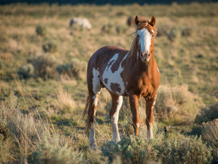 Warm Springs Wild Horse. Photographer unknown.