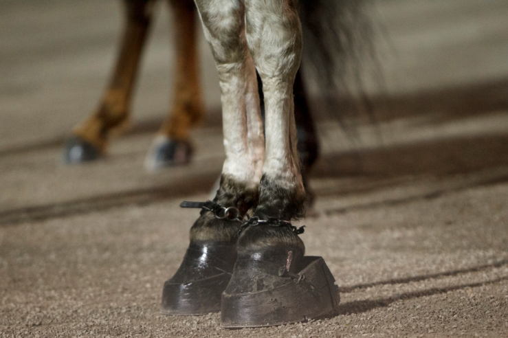 """Horse soring """"stacks"""" on the front hooves of a Tennessee Walking Horse at Big Lick competition. HSUS."""