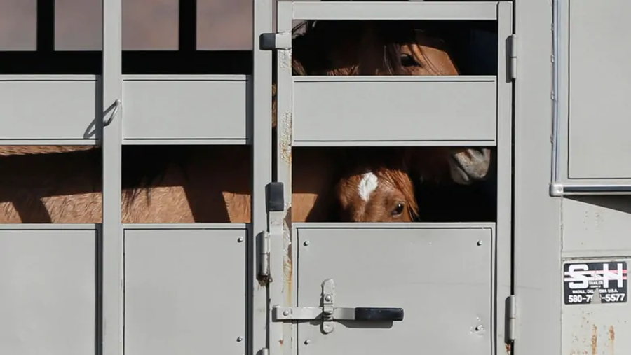 Horses peer out from trailer. CBC.