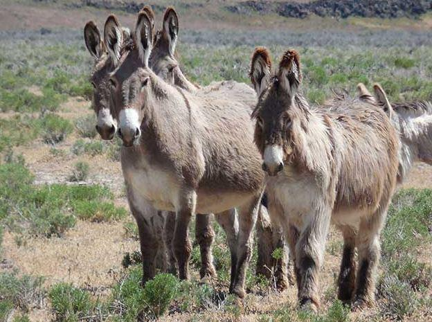 Wild burros are being shot. BLM takes action, offering an reward for the killers.