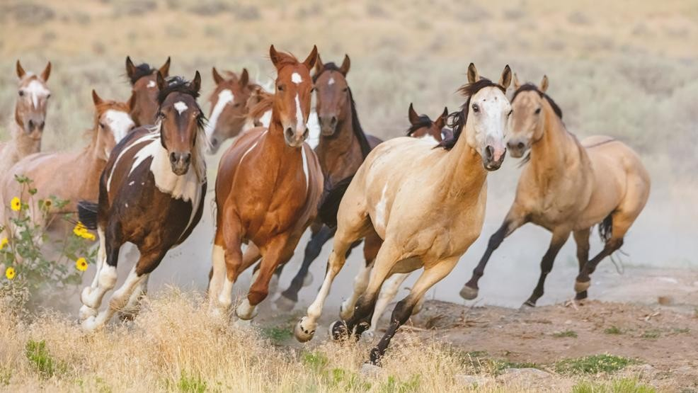 Galloping wild horse herd. (Stock Photo)