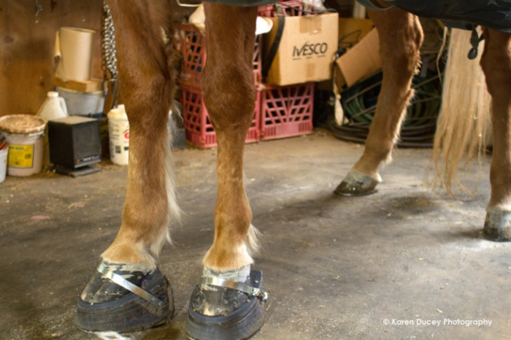 See My Magic, a Tennessee Walking horse, stands on stacks, or angeled performance shoes, in his stall in Unicorporated Pierce County near Roy, Wash. in the spring of 2015. This breed of horse is famous for their parallel gait resulting in a smoth ride. Many owners accentuate this gait with action devices such as chains, the high angled shoes, and painful chemicals. These horses are kept in stalls while wearing the shoes because they would trip and injure themselves if let outside. See My Magic never has his shoes taken off. Pierce County Animal Control reported they see no indication of soring. (photo © Karen Ducey Photography)