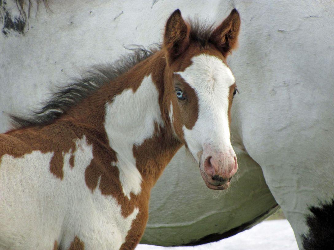 Pinto foal.