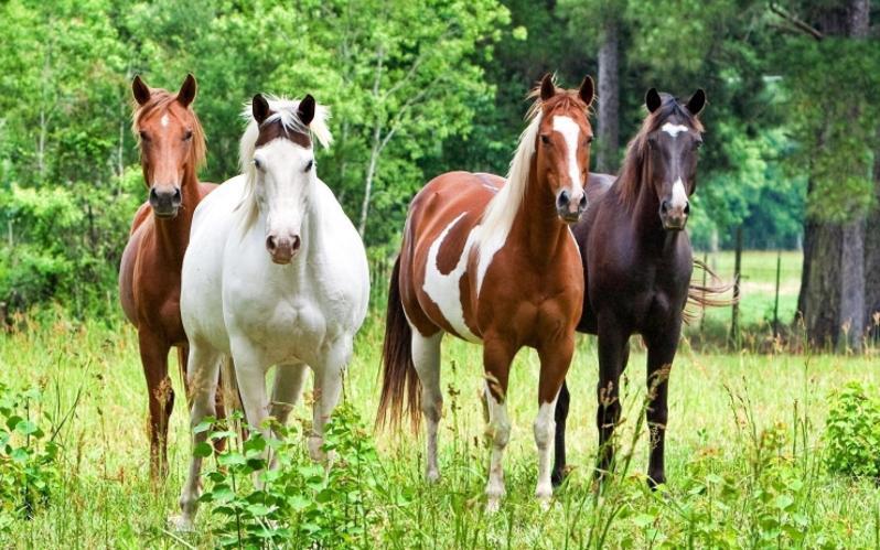 Four horses.