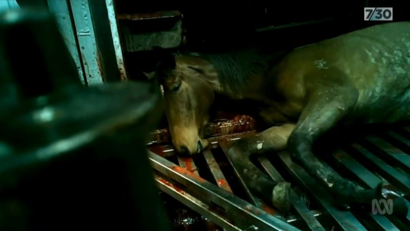 An image from ABC's 7.30 program showing a horse being killed at a Queensland knackery. CREDIT:ABC