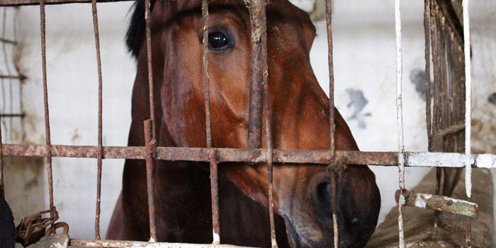 Horses are shipped to Korea to be slaughtered.