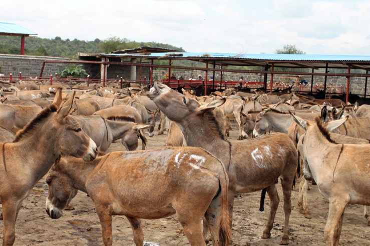Donkeys awaiting slaughter at the Goldox Donkey Slaughterhouse in Kenya. As manufacturers of a traditional Chinese medicine struggle to meet rising demand, they are looking to developing countries for donkey hides. Photo Credit: Rachel Nuwer.