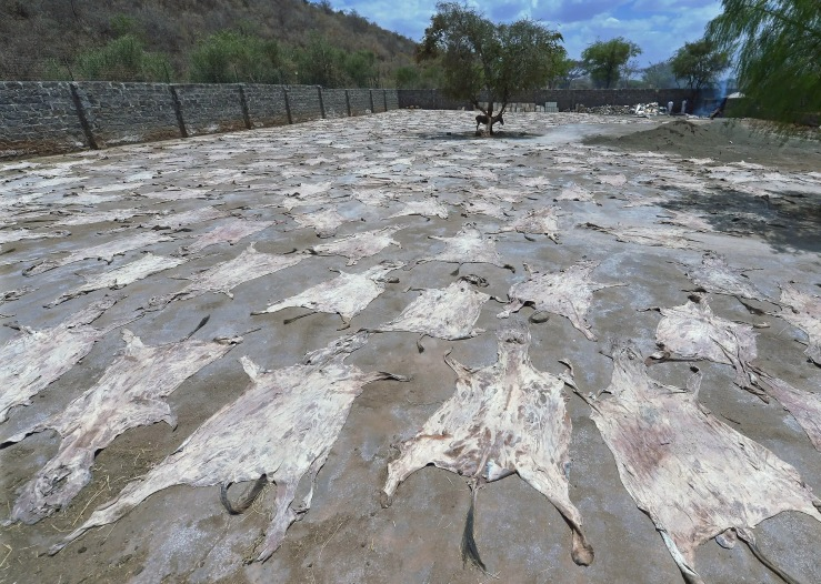 Donkey skins drying in the sun at a licensed donkey slaughterhouse in Baringo, Kenya. Photograph: Tony Karumba/AFP via Getty Images