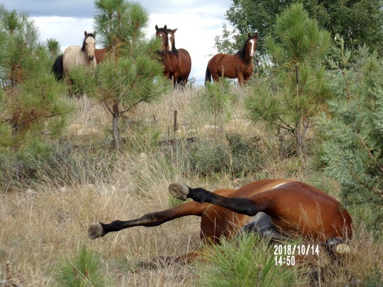 Horses stand around the site where two horses were shot in Apache-Sitgreaves National Forest. (Photo: Robert Hutchison)