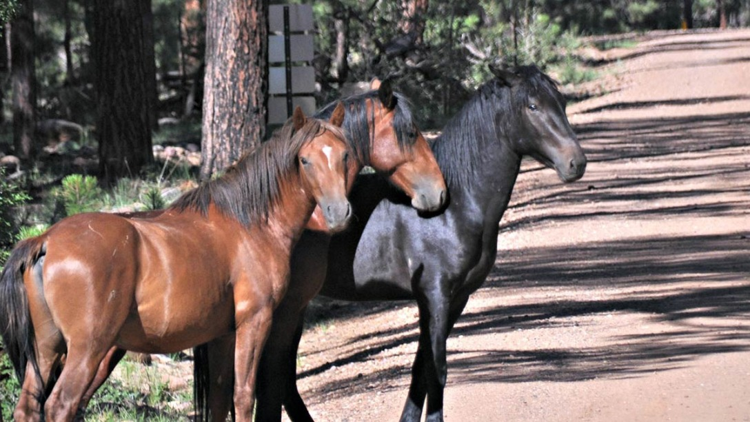 Three Heber Wild Horses.