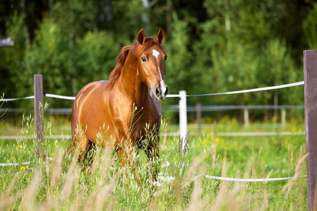 Horse in green fields of Australia. Vet Voice.