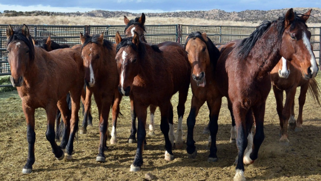 24 wild horses die during Bureau of Land Management roundup in Nevada. KLAS News, Ch 8.