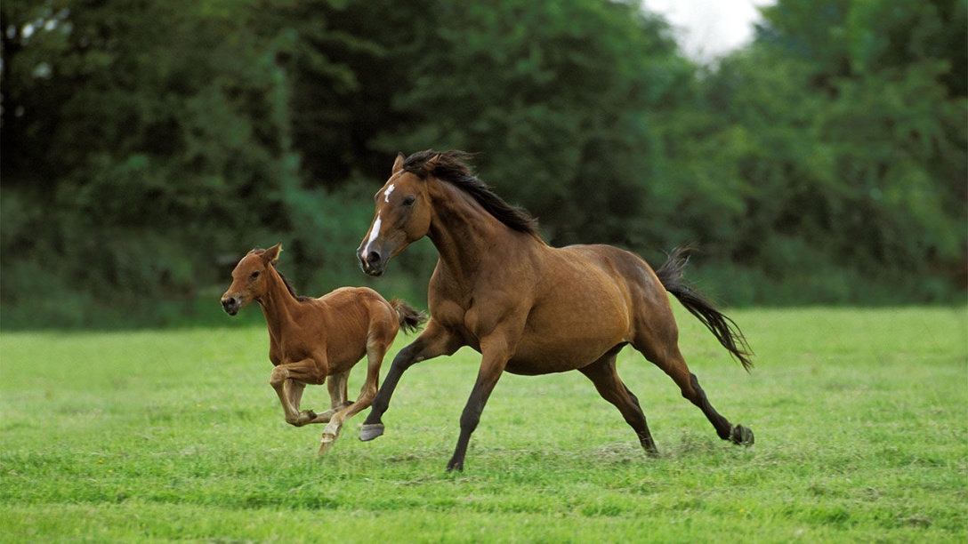 Mare and Foal. GERARD LACZ/MINDEN PICTURES