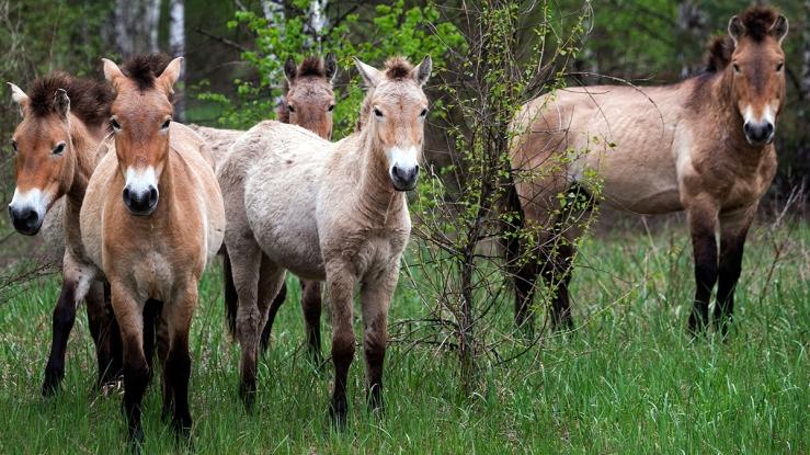 Chernobyl wild horses. National Geographic image.