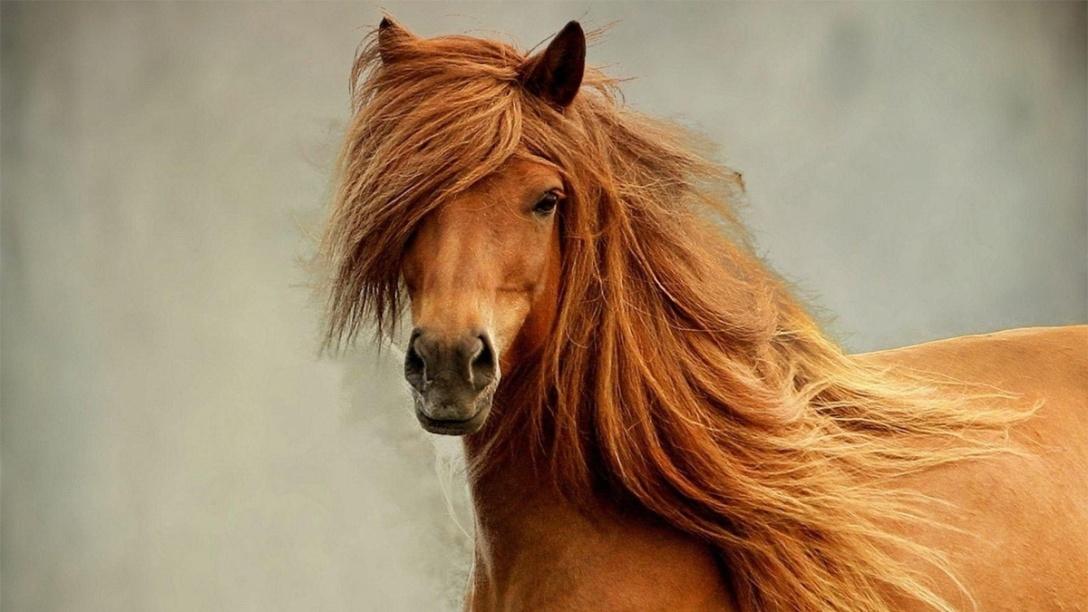 Beautiful chestnut horse with cascading mane,