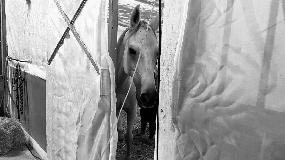 A horse in Thailand is isolated behind netting that keeps out midges that spread African horse sickness. WIPAWAN PAWITAYALARP