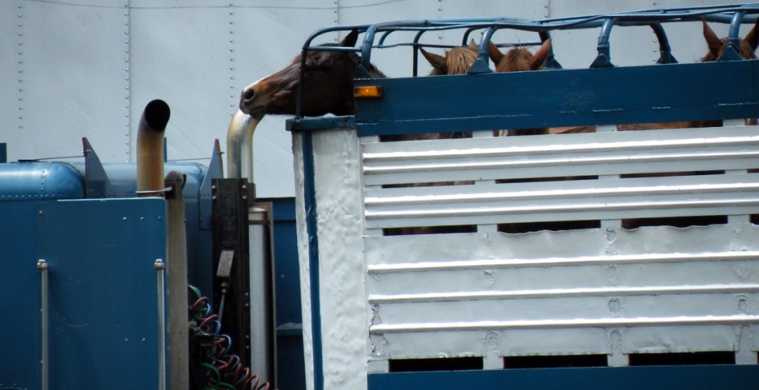 Truck full of slaugherbound horses. Image via Glogster.com.