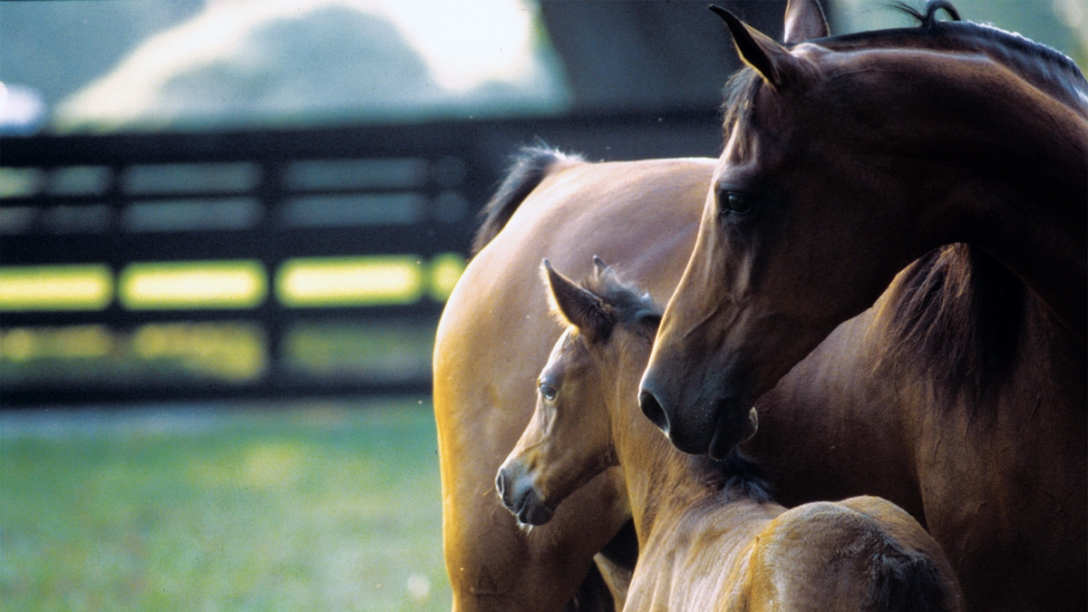 Protective Thoroughbred mare and young foal huddle together in pasture.