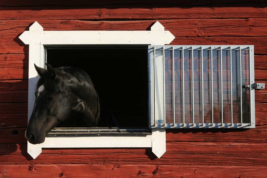 Black horse peers out from his stall window. Free Image.