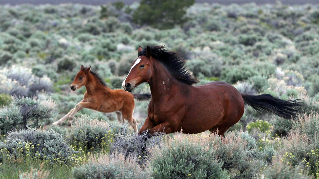 Wild mare and foal. Nevada. Las Vegas Review-Journal.