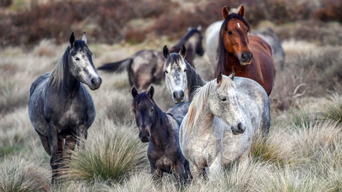 Wild horses roam in the Kosciuszko National Park. CREDIT:JOE ARMAO