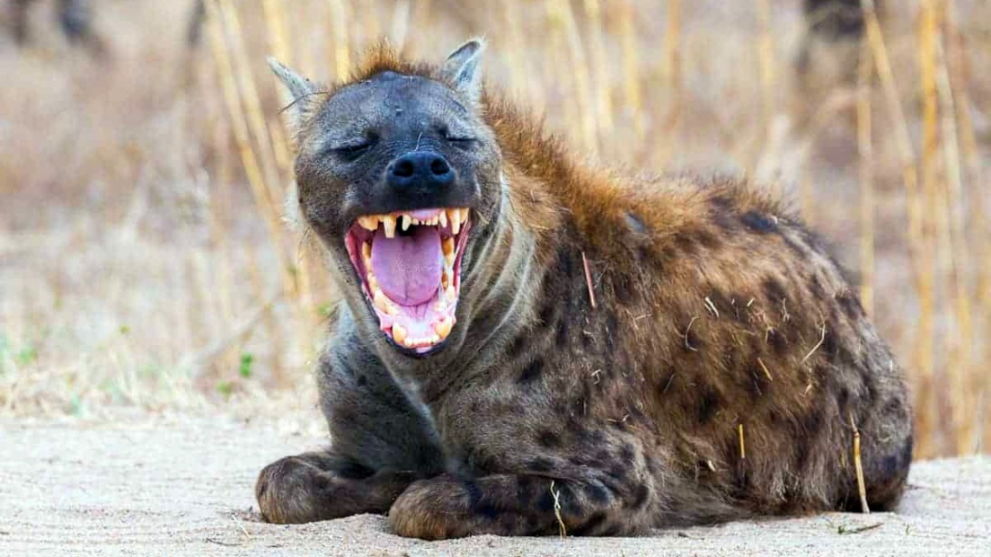 Laughing hyena. Photographer unknown.