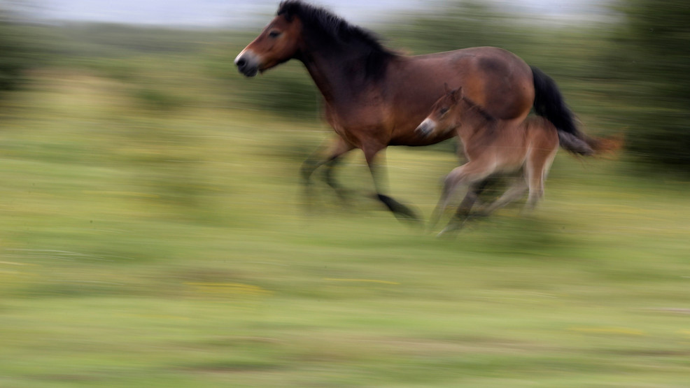 Wild horses gallop across a meadow at a wildlife sanctuary in Milovice, Czech Republic, Friday, July 17, 2020. (AP Photo/Petr David Josek).